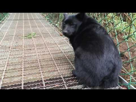 Brave Schipperke dog crosses a suspension bridge