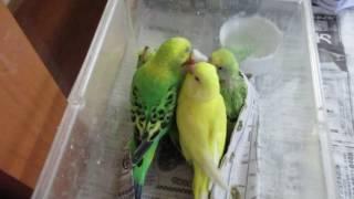 インコのパリ(パリエット)ちゃんが、巣箱が変わっても餌をやりに来ま...