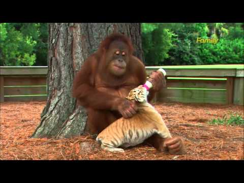 Discovery Family Daytime: Orangutan plays with tiger cubs