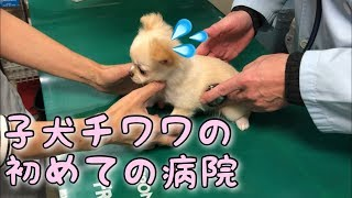 子犬チワワのはじめての病院で見せる行動とは ▽3回目ワクチン動画はこち...