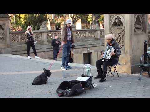 New York Scottie Dog Loving The Accordian