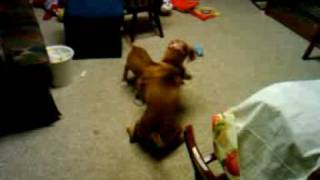 Dachshund And Pit Bull Puppy Playing Together