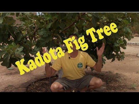 Kadota Fig Tree