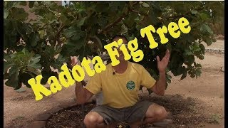 Kadota Fig Tree