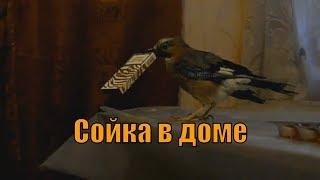 Хищные птицы в доме (сойка).