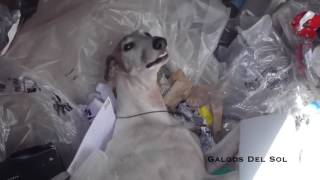 The brutal reality for GALGOS after competition season has finished! GALGOS DEL SOL