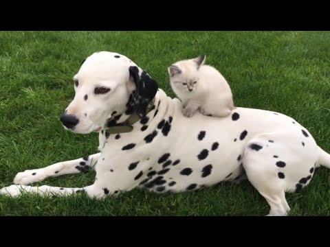Beautiful Dalmatian hangs out with his sweet kitten