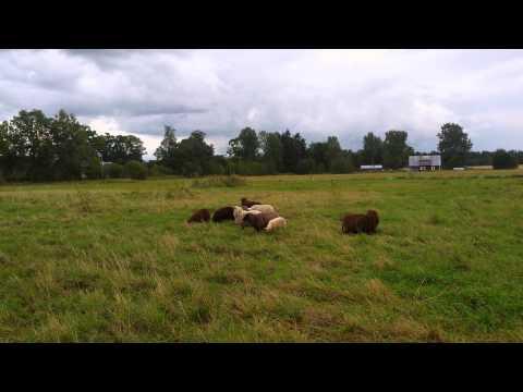 Maremma Abruzzi Livestock Guardian dog reacting to a car