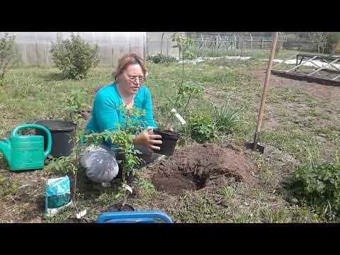 Жимолость съедобная!Почему стоить посадить в своем саду!Посадка и уход!