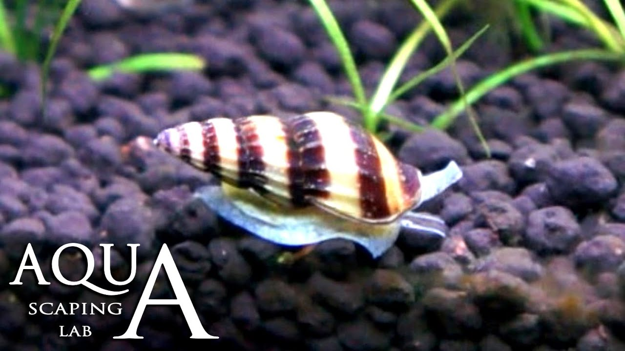 Snail helena. Content and breeding at home 65