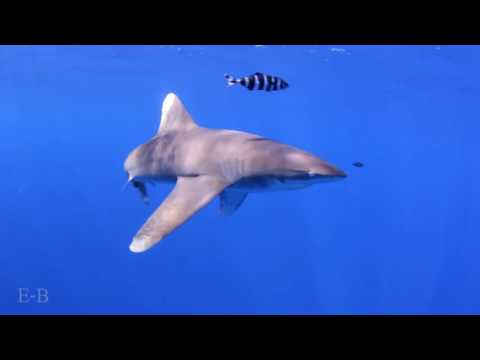 diving with sharks red sea Egypt