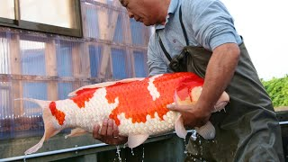 Inside the secret world of Koi | Japan Documentary