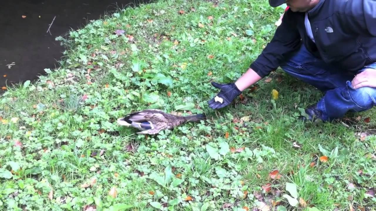 How to catch wild ducks
