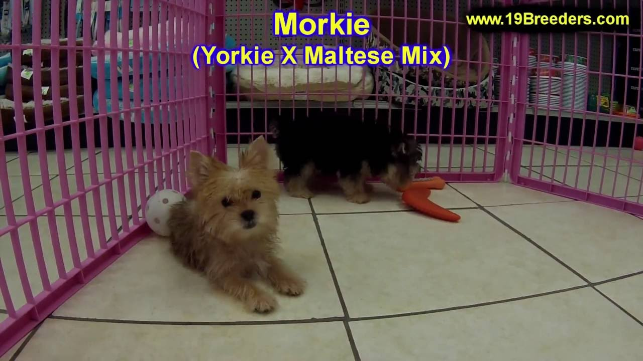 Morkie, Puppies, Dogs, For Sale, In Chicago, Illinois, IL, 19Breeders,  Rockford, Naperville, Peoria