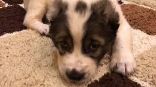 Короче говоря,нам подарили собаку Алабая Мы завели собаку