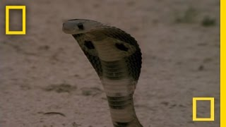 Repeat youtube video Cobra vs. Mongoose | National Geographic