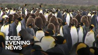 Satellite images show emperor penguins suffered breeding failure