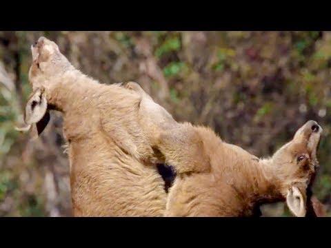 best-of-australian-animals- -top-5- -bbc-earth