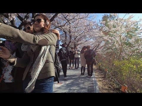 [4K] Walking around Yeouido Island, Seoul, Korea(Cherry Blossom Festival) - 여의도 윤중로 벚꽃축제 봄꽃축제