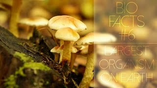 Bio Facts #6 - Largest organism on Earth.