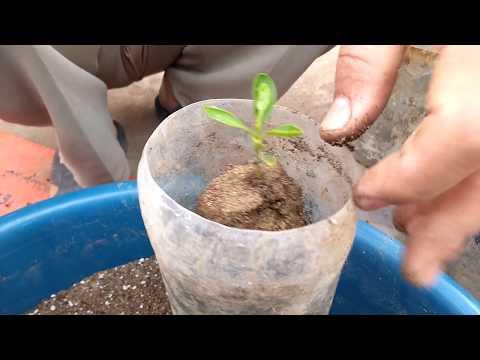 زراعة بذور الليمون ونقل البادرات .. Cultivation of lemon seeds and seedling transfer
