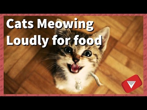 Cats Meowing Loudly For Food (TOP 10 BEST VIDEOS)