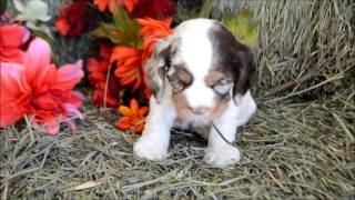 Chocolate Merle Cocker Spaniel Puppy **www.maryscockerhaven.com**