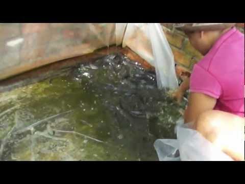 Mô hình nuôi cá lóc trong chuồng heo cũ