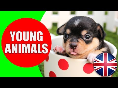 Animals and Their Young Ones - Kids Vocabulary Young Animals - Easy English for Children