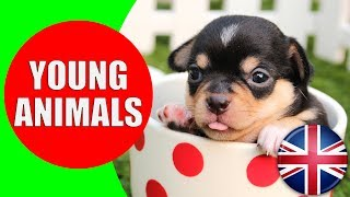animals and their young ones kids vocabulary young animals easy english for children