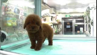 DOG Stage ドッグステージ http://www.dog-stage.com/pt_puppy.html ト...