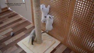 Улётное видео! Шведская стенка для котят! Тайские кошки - это чудо! Funny Cats