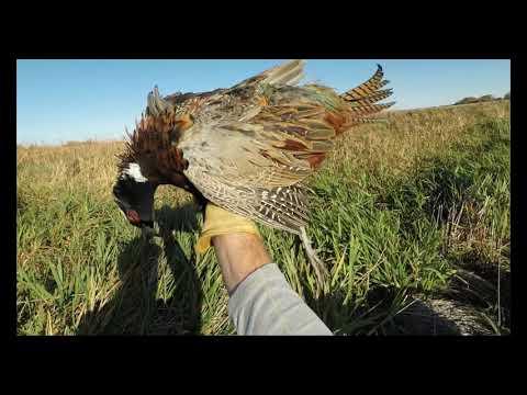 South Dakota Pheasant Hunting 2020 Resident Opener Public Land