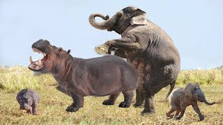 Elephant vs Hippo   Elephant defend her baby from two Hippo   Wild Animals Entertainment