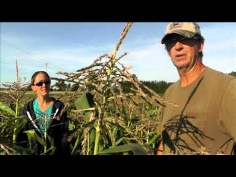 Farming in Chatham-Kent: Local Corn