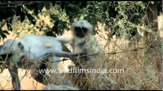 Langurs in Jaisamand wildlife sanctuary, Rajasthan