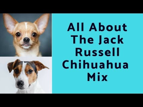 All About The Jack Russell Chihuahua Mix