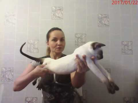 Available Siamese kitten  DOB 21.072016 in stretching