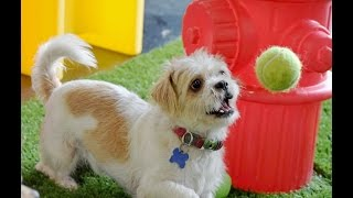 The Best Shih Tzu To Adopt Now! Leela, 2 Yr, Kenmarrescue.org 9-25-15