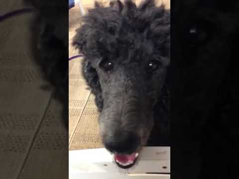LAKEVIEW STANDARD POODLES - HOME