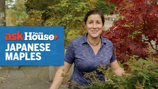 All About Japanese Maples | Ask This Old House