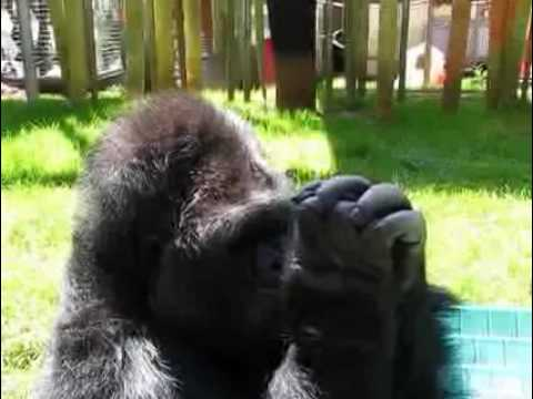 Koko learns to use a grass whistle