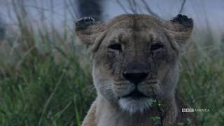 Dynasties: Charm Protects Her Cubs | Saturday, January 19 at 9pm | BBC America thumbnail