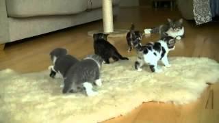 Прикол. Озорные котята учатся ходить.