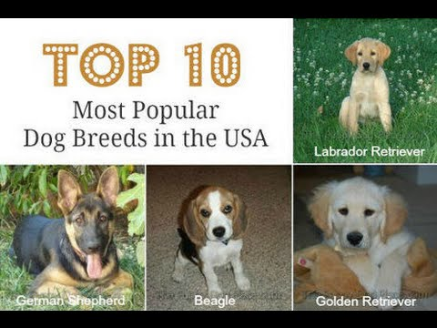 Most Popular Breed Of Dogs In Usa