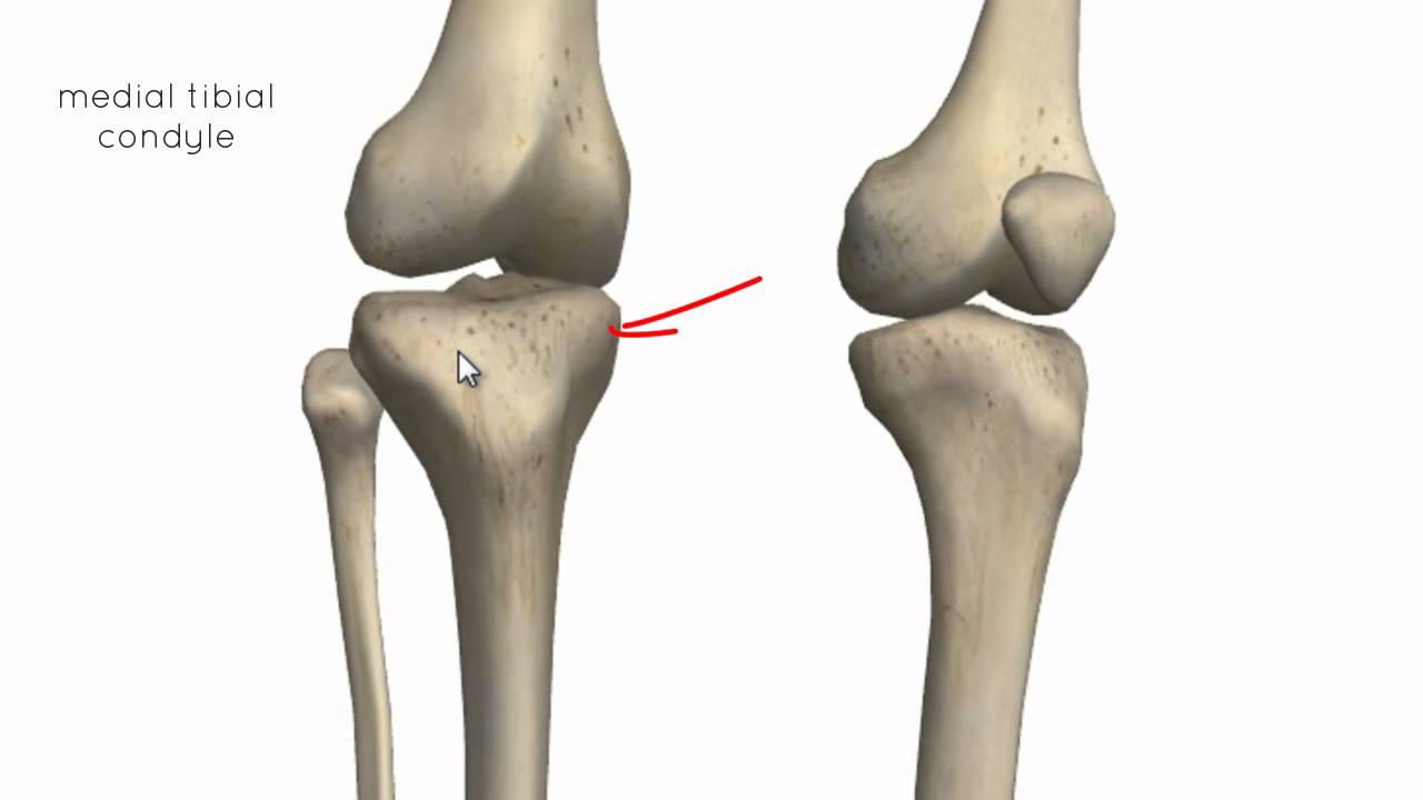 Knee Joint - Part 1 - 3D Anatomy Tutorial - YouTube