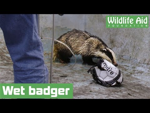 Badgers fall into swimming pool!