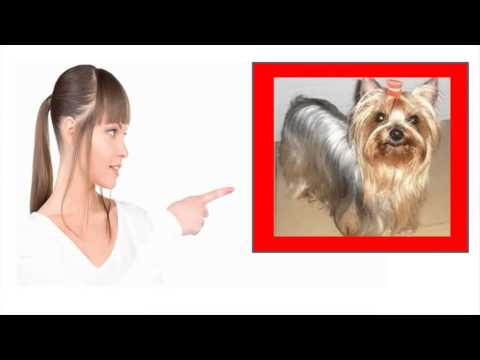 funny-yorkie-going-crazy---i-love-the-yorkie-temperament-except-maybe-the-crazy-barking!
