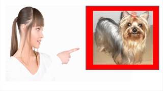 Funny Yorkie Going Crazy - I Love The Yorkie Temperament Except Maybe The Crazy Barking!