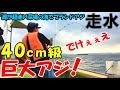 走水のブランド巨大アジ40㎝級を釣り上げる!夢の大アジ釣りの仕掛けやエサも全部見せます